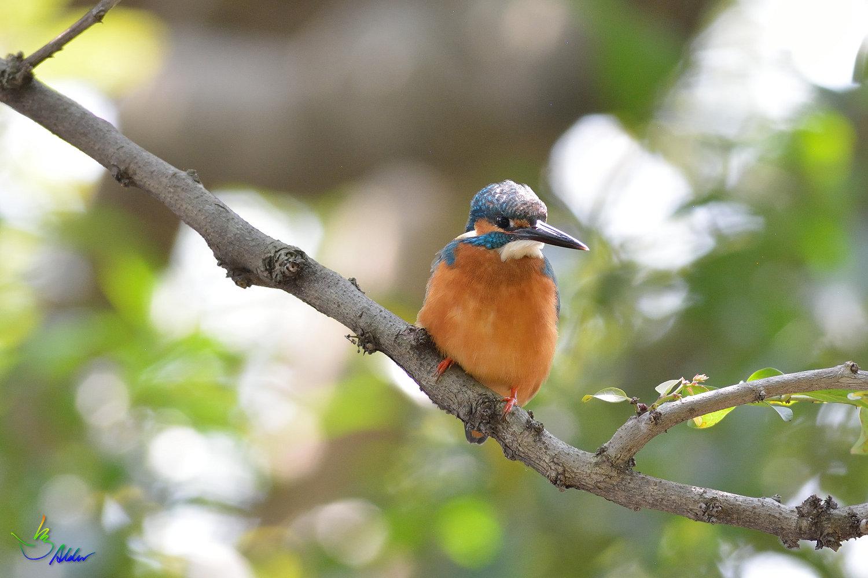 Common_Kingfisher_2498