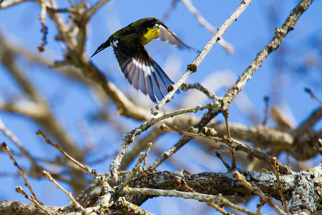 Male black-backed lesser goldfinch
