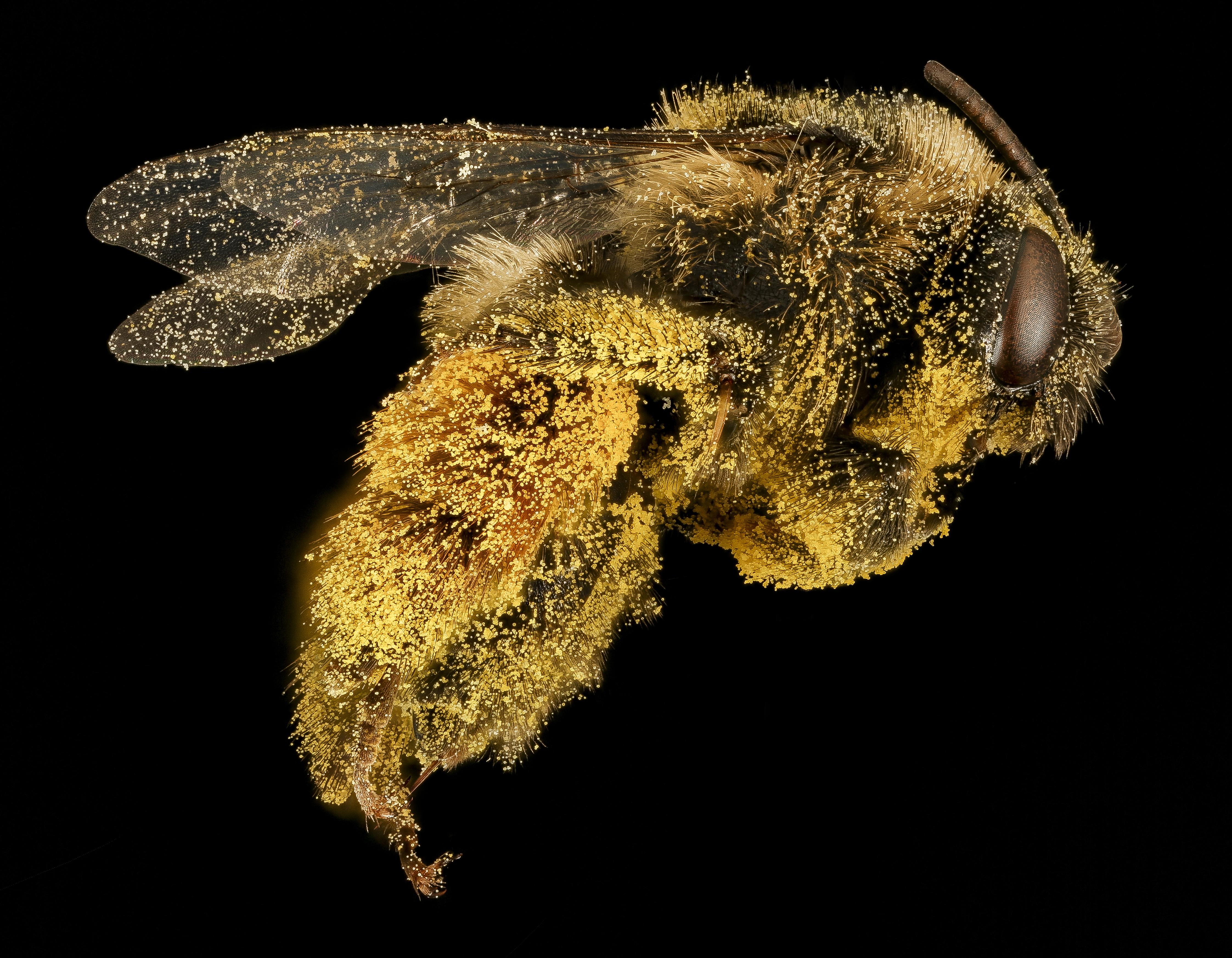 Pollen Party! Melissodes desponsa bea cover in pollen by Dejen Mengis, USGS [4490 x 3493] x-post -r-HI_Res