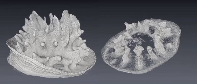 左邊是正常的珊瑚骨骼;右邊是高酸度下的骨骼照片。圖片來源:影片截圖。