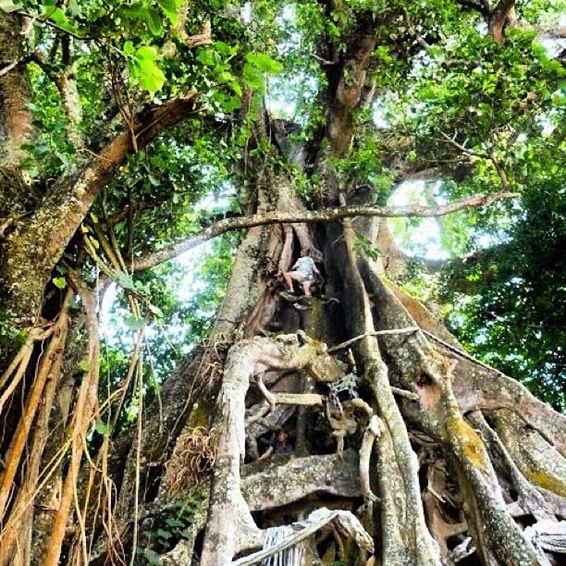 6-giant-banyan2