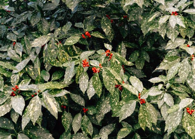 polka dot plant bush