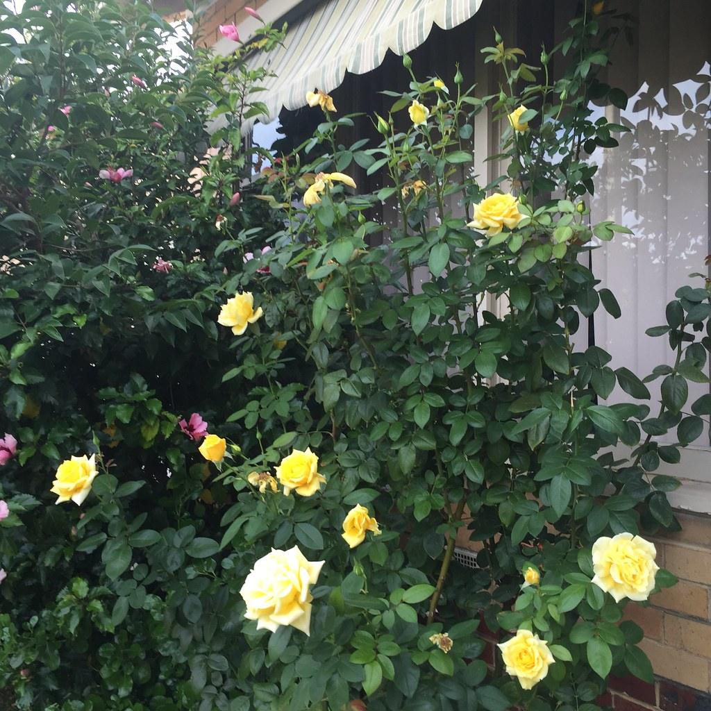 out of control rose bush with yellow blooms, it's taller than me!