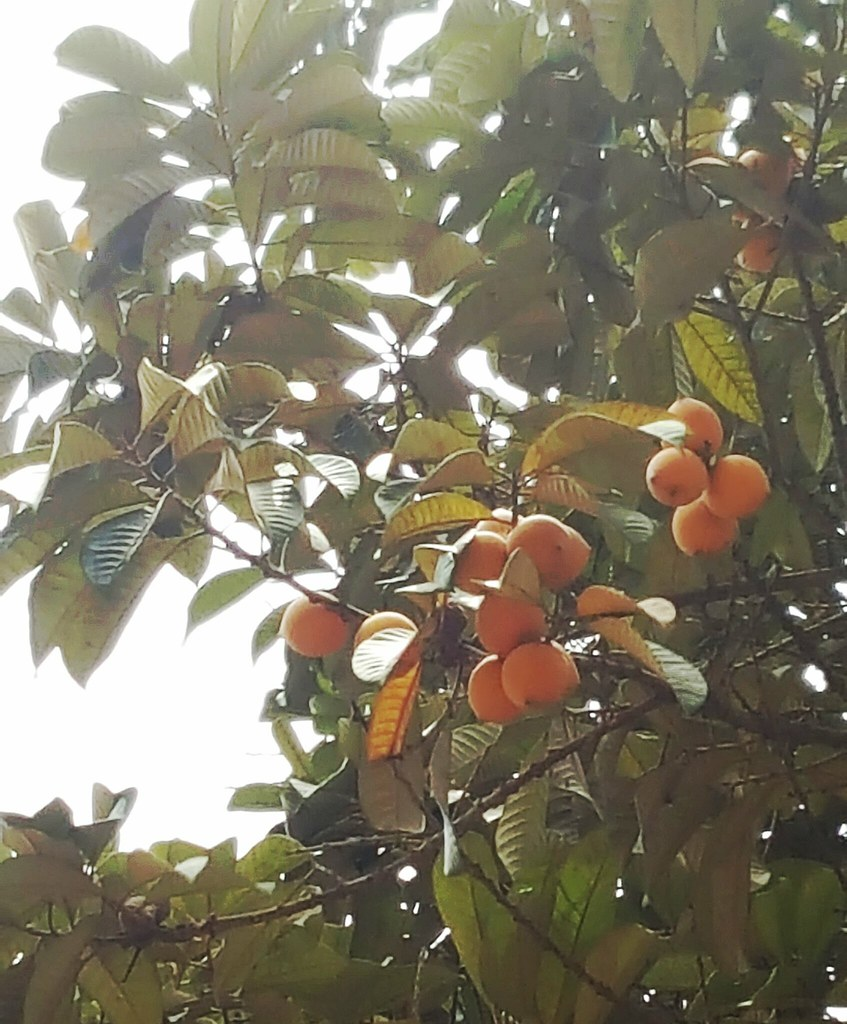 True or false thou shalt not pluck fruit from the agbalumo star at that time he was in his hometown a few of them waited till midnight to pluck agbalumo from the tree buycottarizona