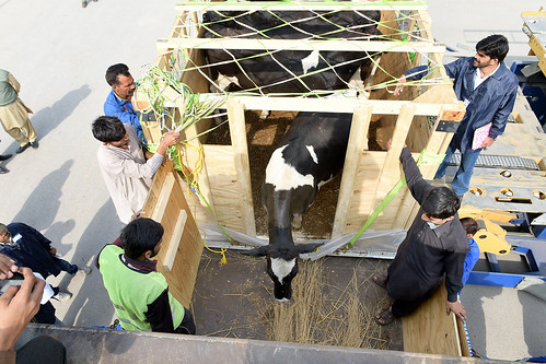 U.S. dairy cattle being shipped to Pakistan
