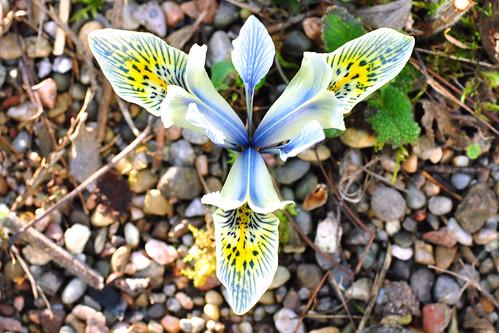 Weinheim Bergstraße Hermannshof Garten Schaugarten Gartenreise Januar 2016 Frühblüher Foto Brigitte Stolle Mannheim 2016 Zwerg-Iris Iris Reticulata Katharine Hodgkin Orchideen-Iris