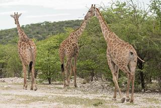 Giraffen im Ongava Game Reserve
