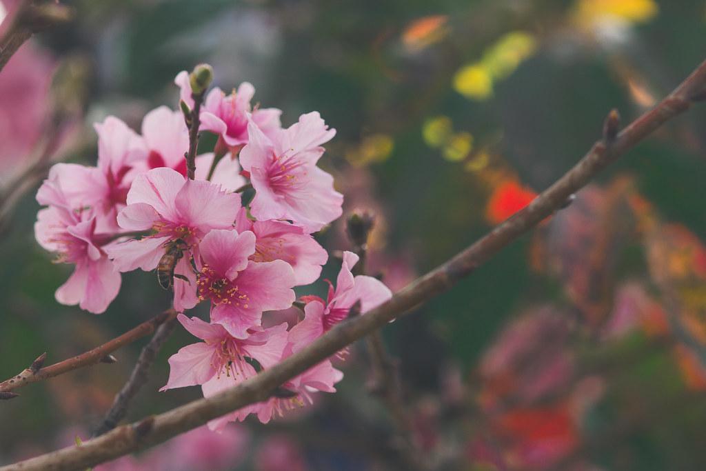 新竹公園櫻花季