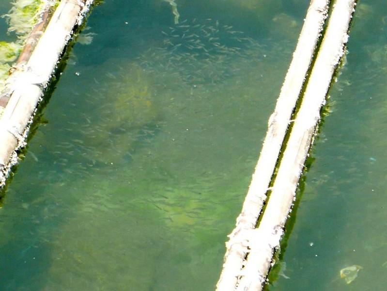 蚵棚就像是生態浮島,下面有非常多的生物聚集生長與繁殖。圖片來源:晁瑞光