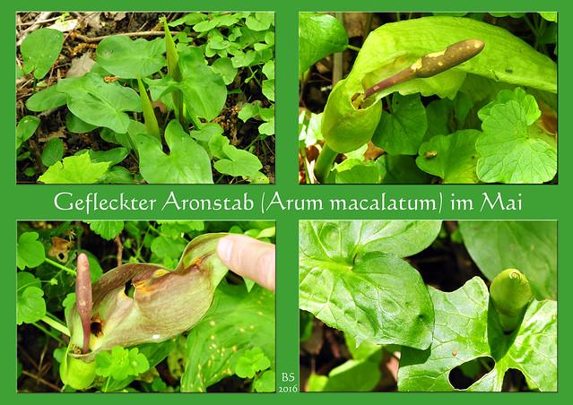 """Im Wald habe ich Aronstäbe entdeckt. Die giftige Wildpflanze heißt korrekt """"Gefleckter Aronstab"""" (Arum maculatum) kommt in Laub- und Auenwäldern vor. Interessant: die Hüllblätter sind tütenförmig eingerollt und schließen die Blüten ein. Abends entfalten sie sich und bildet eine Art """"Reuse"""", mit der Mücken gefangen werden, die im Inneren der Pflanze abrutschen und die Blüten bestäuben. Erst am nächsten Abend, wenn die Hüllblätter und die kleinen Blüten welken, können die armen Bestäuber wieder ins Freie krabbeln. Foto: Brigitte Stolle Mai 2016"""