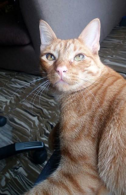 Jerry, gatito rubio guapo muy dulce y bueno, esterilizado, nacido en Abril´15 en adopción. Valencia. ADOPTADO. 26118256164_105f999c62_z