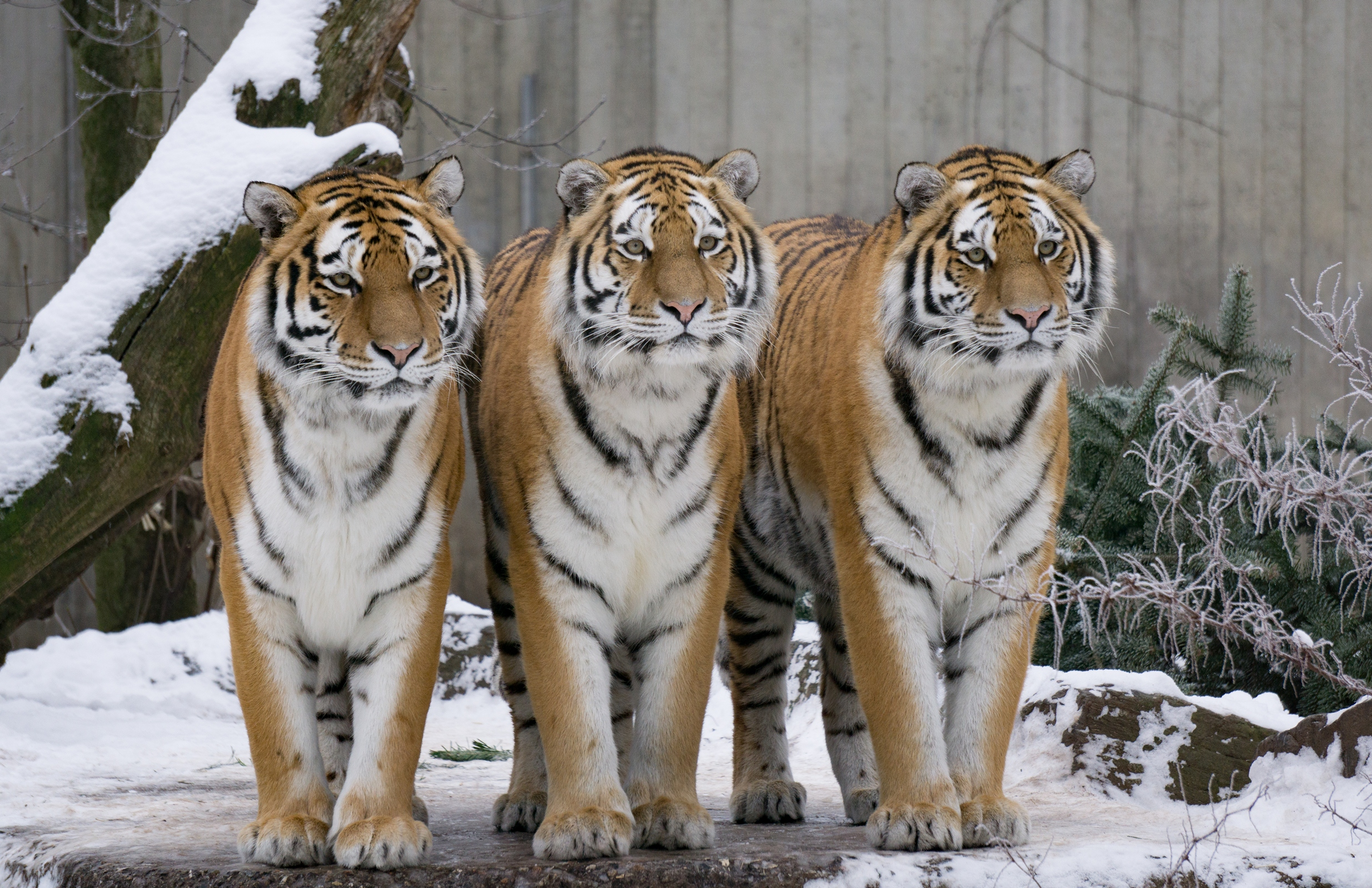 днях тигры картинки много зря