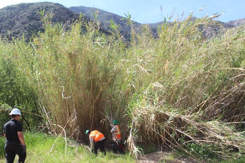 Forest Service employees and volunteers removing giant cane in the Big Tujunga watershed