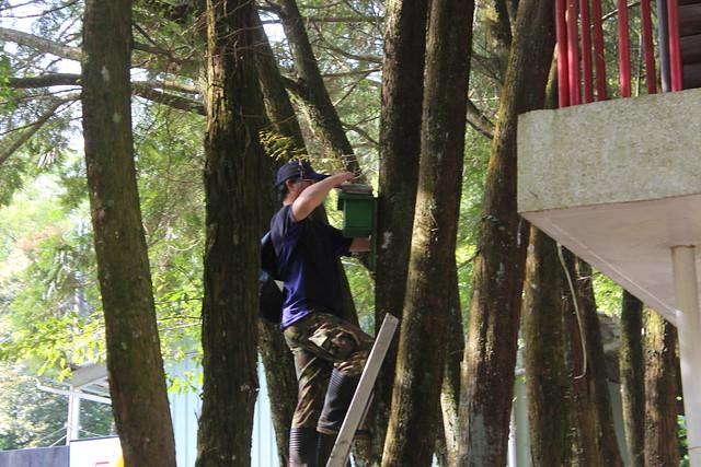 鳥類育雛期間,研究人員必須扛著梯子一個一個檢查鳥巢箱有沒有鳥類育雛。圖文:廖靜蕙