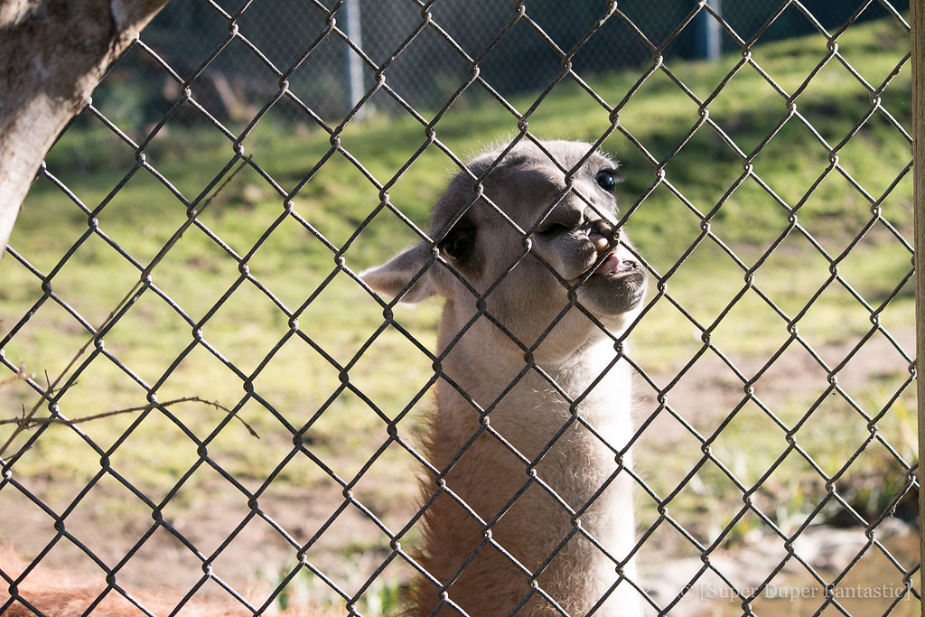 San Francisco Zoo - Llama