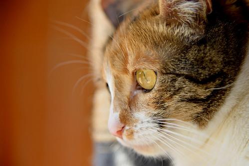 Jaspe, maravillosa tricolor de ojos cobrizos esterilizada nacida en Abril´11, necesita adopción. Valencia. ADOPTADA.  25918561060_c4c428bd34