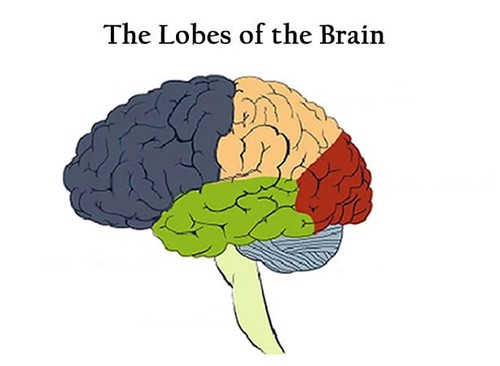 quick pick picture click lobes of the brain quiz by nspyred