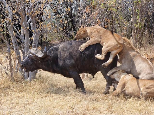 Leones cazan un búfalo en Savuti (Botswana)