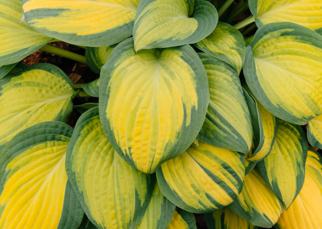 close up shot of a hosta plant