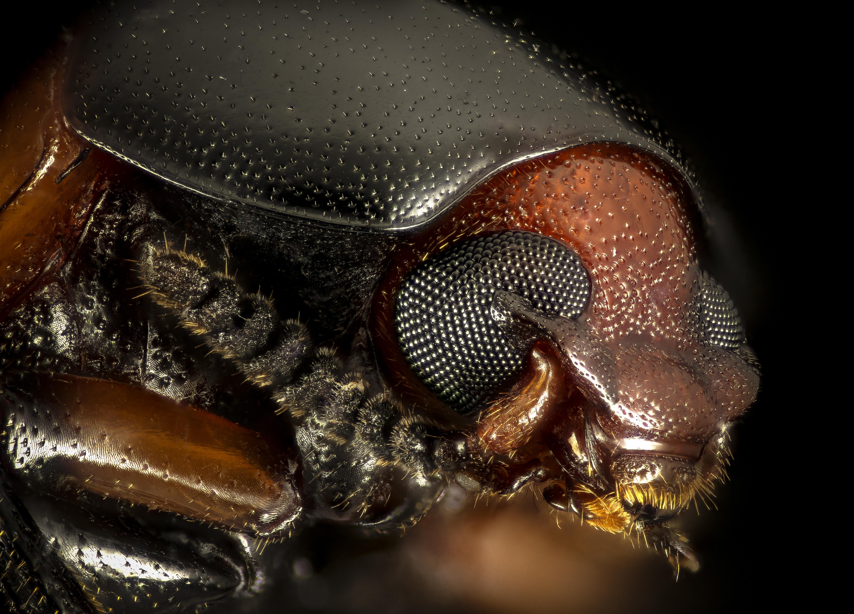 Tenebrionidae beetle (Darkling Beetle), Little Stsimons Island, Georgia, 2016 by Sam Droege [5252 x 3778] x-post -r-HI_Res