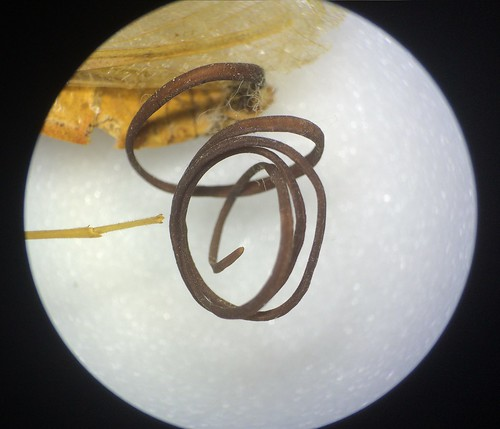 A microscopic closeup of the reddish-brown, coiled parasitic Nematomorpha emerging from the specimen's anus.