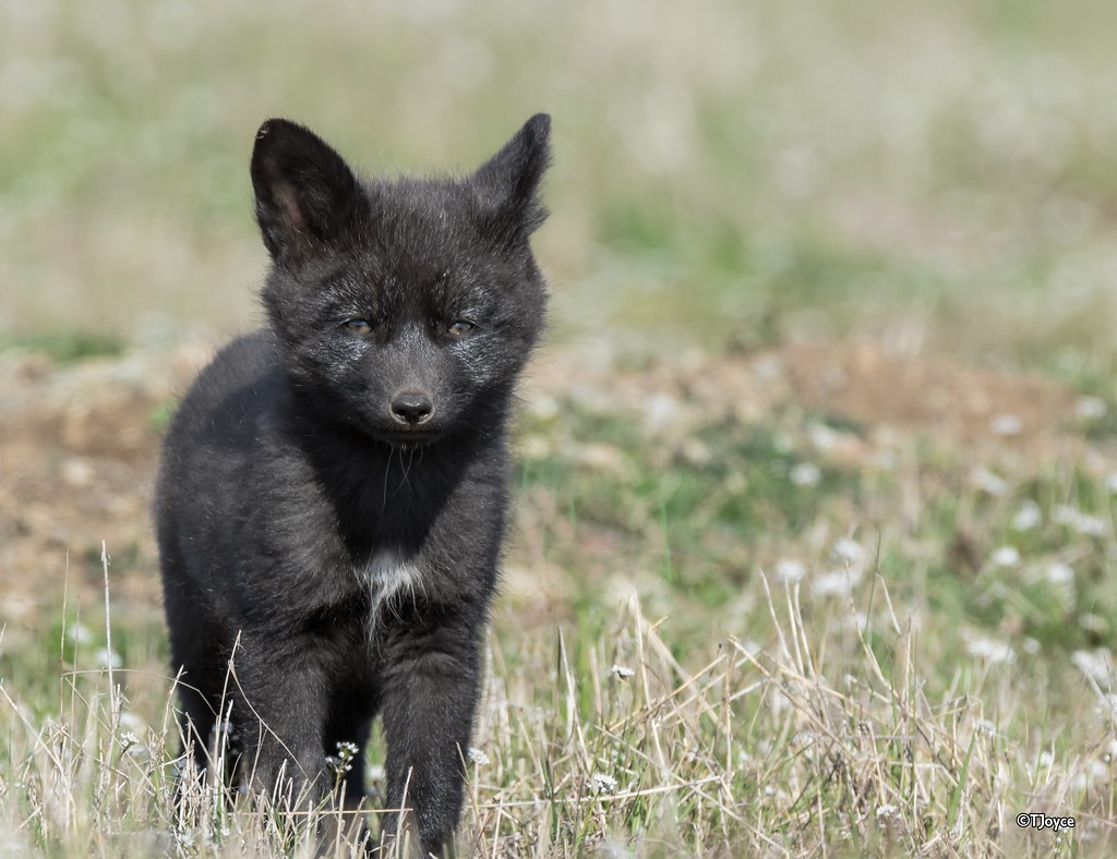 Silver fox kit - photo#4