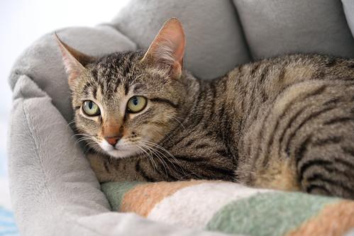Tigris, gatita atigrada parda de ojazos verdes y cara redondita, tímida y sumisa esterilizada, nacida en Septiembre´15, en adopción. Valencia. ADOPTADA. 25231238106_b8bfcafe66