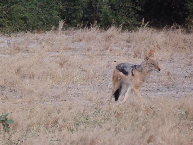 El chacal es uno de los animales que más se pueden ver y fotografiar en Botswana
