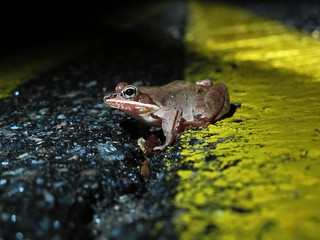 A wood frog makes her way across North Lincoln Street in Keene.