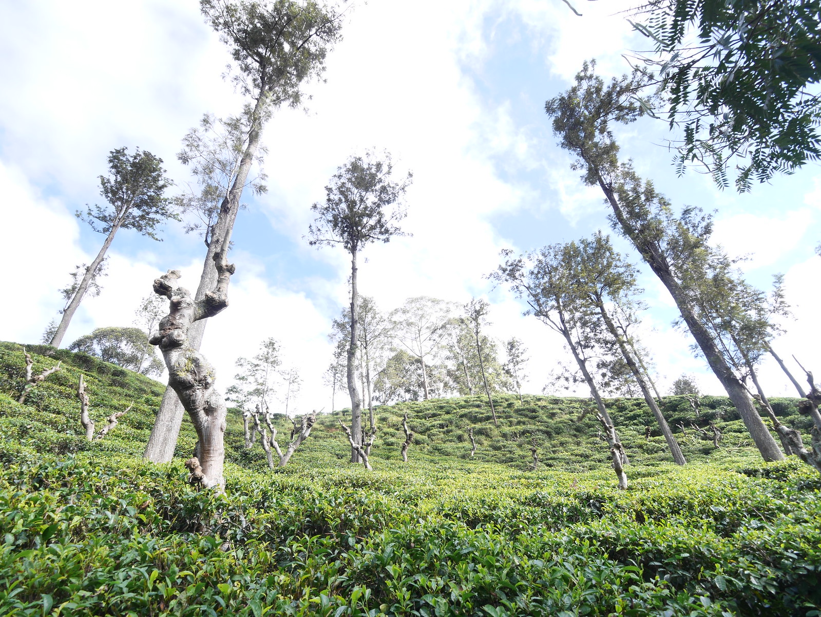 Tea Plantation (Ella, Sri Lanka)
