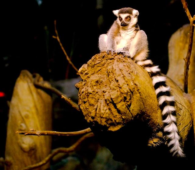 Ring-tailed Lemur (Lemur catta)_6