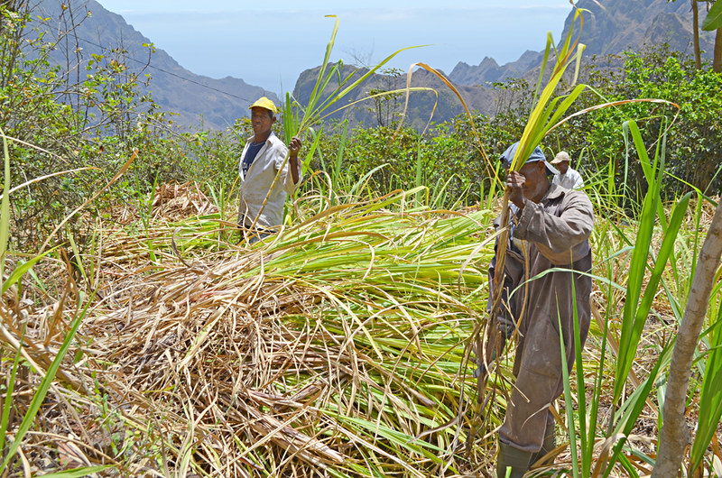 Sugar cane workers, Ribeira do Paul Valley, Santo Antao, Cape Verde