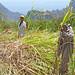 Sugar cane workers, Ribeira do Paul Valley, Santo Antao, Cape Verde