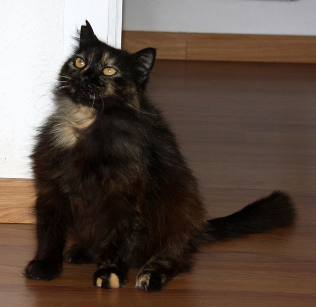Indira, gata Carey cruce Persa de ojazos ocre esterilizada, mimosona, nacida en Agosto´12 en adopción. Valencia. ADOPTADA. 26336163932_f321c6e989_z