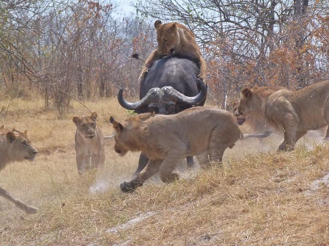 Leones cazan un búfalo en Botswana