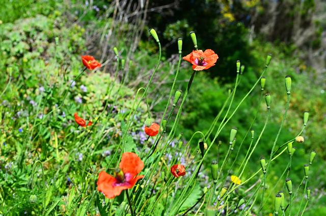Wild poppies, Teno, Tenerife