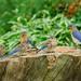 Bluebird Family Outing
