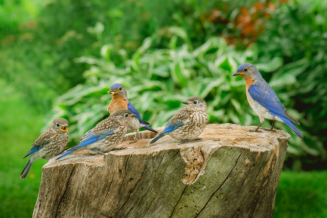 Bluebird, Bluebirds, Eastern Bluebird, Eastern Bluebirds, Nature