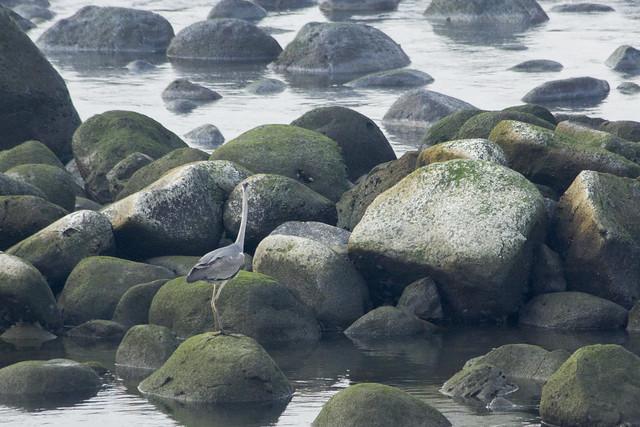 海鳥於遭污染的海岸覓食。攝影:周昭蕊。