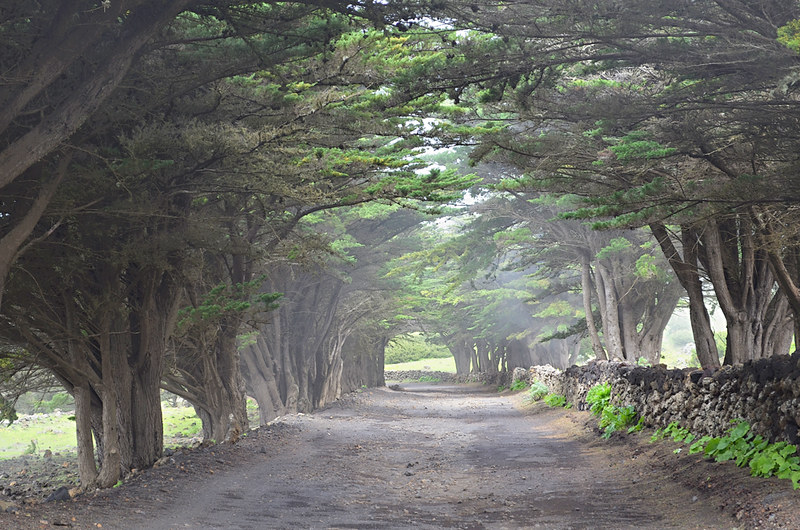 Tree avenue, El Hierro