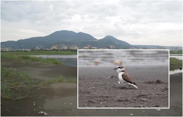 台北港北堤濕地與東方環頸鴴。圖片來源:荒野保護協會