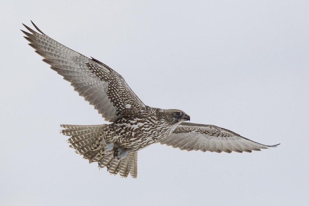 Dark Gyrfalcon - Falco rusticolus - Faucon gerfaut | Flickr