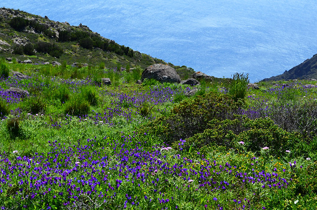 Wild flowers, Teno Mountains, Tenerife