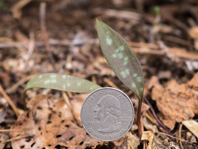 Immature, single-leaf Trout Lily plants