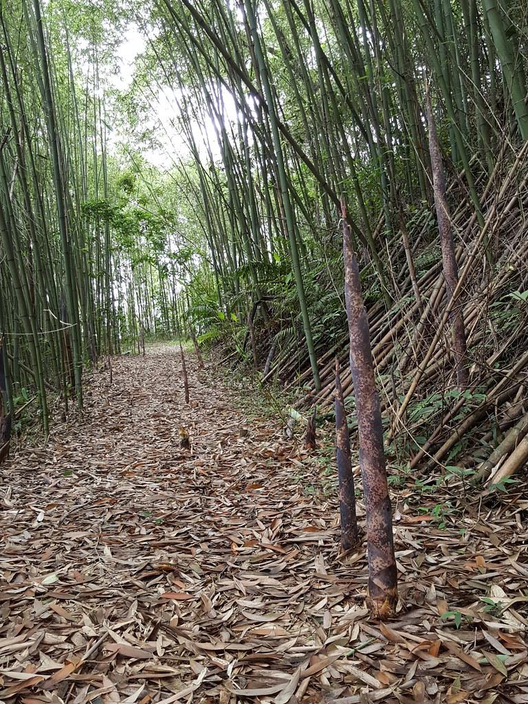 自然谷徑上新長的桂竹筍。攝影:黃千桓。