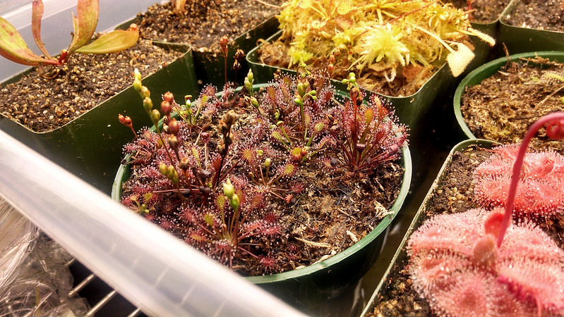 Drosera intermedia 'Cuba' crowded in the pot.