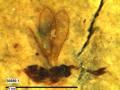 Fossil wasp from Kishenehn Formation