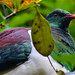 Wood pigeon, Waiau Kauri Grove, Coromandel, New Zealand
