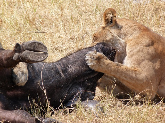 León asfixiando a un búfalo en Savuti (Botswana)