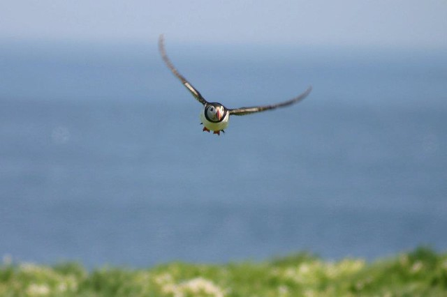 puffin farne islands northumberland uk